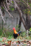 Μικρόσωμο κοτόπουλο Στοκ εικόνες με δικαίωμα ελεύθερης χρήσης