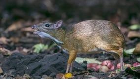 Μικρότερα ελάφια ποντικιών που τρώνε τα φρούτα Στοκ Εικόνες