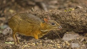 Μικρότερα ελάφια ποντικιών στο τροπικό δάσος Στοκ Εικόνα