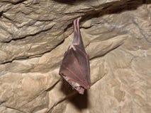 Μικρότερα πεταλοειδή hipposideros Rhinolophus ροπάλων στη σπηλιά Στοκ φωτογραφίες με δικαίωμα ελεύθερης χρήσης