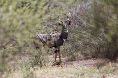 Μικρότερα imberbis Tragelaphus kudu στους θάμνους σαβανών στο εθνικό πάρκο Awash, Αιθιοπία στοκ εικόνα