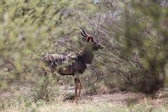 Μικρότερα imberbis Tragelaphus kudu στους θάμνους σαβανών στο εθνικό πάρκο Awash, Αιθιοπία στοκ φωτογραφία με δικαίωμα ελεύθερης χρήσης