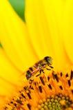 Μικρότερη μύγα κηφήνων Στοκ φωτογραφία με δικαίωμα ελεύθερης χρήσης