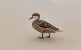 Μικρότερη πάπια σουβλόπαπιων Bahama στην παραλία σαπφείρου Στοκ Εικόνες