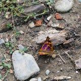 Μικρότερη πορφυρή πεταλούδα αυτοκρατόρων - Apatura Ηλεία Στοκ Φωτογραφίες