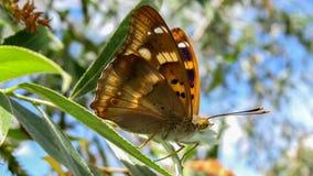 Μικρότερη πορφυρή πεταλούδα αυτοκρατόρων - Apatura Ηλεία Στοκ Εικόνες