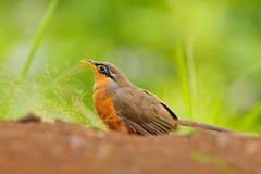 Μικρότερος έδαφος-κούκος, erythropygius Morococcyx, σπάνιο πουλί από τη Κόστα Ρίκα Παρατήρηση πουλιών στη Νότια Αμερική Συνεδρίασ Στοκ εικόνες με δικαίωμα ελεύθερης χρήσης