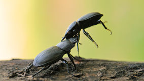 Μικρότερος κάνθαρος αρσενικών ελαφιών (parallelipipedus Dorcus) Στοκ Εικόνες