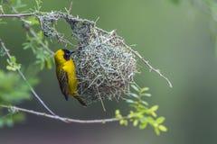 Μικρότερος καλυμμένος υφαντής στο εθνικό πάρκο Kruger, Νότια Αφρική Στοκ Φωτογραφίες