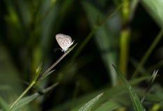 Μικρότερος καλύπτει την μπλε πεταλούδα (otis Zizina) σε μια χλόη κήπων με χορτάρι Στοκ Εικόνες