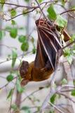 Μικρότερος κοντός-μυρισμένο ρόπαλο φρούτων (brachyotis Cynopterus) eps αρχείο, κάθε στοιχείο ομαδοποιείται χωριστά Στοκ εικόνα με δικαίωμα ελεύθερης χρήσης