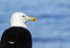 Μικρότερος με μαύρη ράχη γλάρος, fuscus Larus Στοκ εικόνες με δικαίωμα ελεύθερης χρήσης