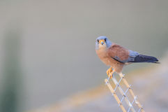 Μικρότερο αρσενικό γεράκι Στοκ φωτογραφία με δικαίωμα ελεύθερης χρήσης