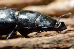 Μικρότερο αρσενικό κανθάρων αρσενικών ελαφιών (parallelipipedus Dorcus) Στοκ φωτογραφίες με δικαίωμα ελεύθερης χρήσης