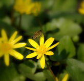 Μικρότερο λουλούδι celandine Στοκ εικόνες με δικαίωμα ελεύθερης χρήσης