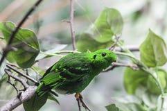 Μικρότερο πράσινο broadbill (viridis Calyptomena) Στοκ Φωτογραφία