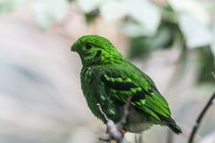 Μικρότερο πράσινο broadbill (viridis Calyptomena) Στοκ φωτογραφία με δικαίωμα ελεύθερης χρήσης