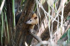 Μικρότερο anteater στο δέντρο που κρυφοκοιτάζει γύρω από τον κλάδο Στοκ Φωτογραφία