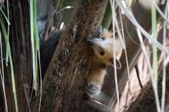 Μικρότερο anteater στο δέντρο που τιτιβίζει γύρω από τον κλάδο Στοκ Εικόνες