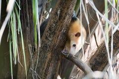 Μικρότερο anteater στο δέντρο που τιτιβίζει μέσω των κλάδων Στοκ Φωτογραφία