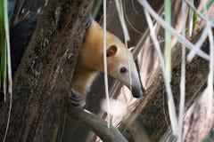 Μικρότερο anteater στο δέντρο που τιτιβίζει μέσω των φύλλων Στοκ Φωτογραφίες