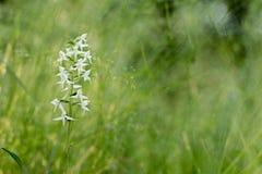 Μικρότερο bifolia Platanthera πεταλούδα-ορχιδεών στη χλόη Στοκ Φωτογραφίες
