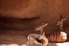 Μικρότερο Kudu αποκαλούμενο imberbis Tragelaphus Στοκ Φωτογραφία