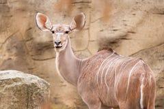 Μικρότερο kudu Στοκ Φωτογραφίες