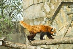 Μικρότερο panda στο ζωολογικό κήπο Στοκ Εικόνες