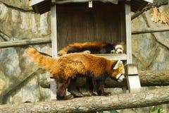 Μικρότερο panda στο ζωολογικό κήπο Στοκ εικόνα με δικαίωμα ελεύθερης χρήσης