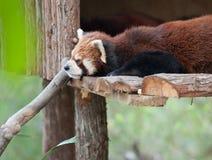 μικρότερο panda Στοκ Εικόνες