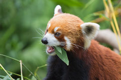Μικρότερο Panda Στοκ Εικόνα