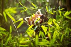 Μικρότερο panda Στοκ φωτογραφία με δικαίωμα ελεύθερης χρήσης