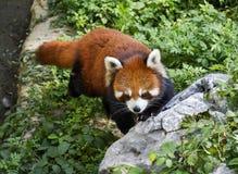 μικρότερο panda Στοκ Φωτογραφίες