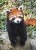μικρότερο panda Στοκ Φωτογραφία