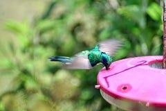 Μικρότερο violetear κολίβριο στην οικολογική επιφύλαξη Antisana Στοκ Εικόνα