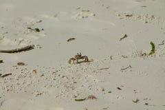Μικρό άσπρο καβούρι στην άμμο στοκ φωτογραφίες με δικαίωμα ελεύθερης χρήσης