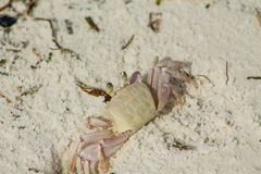 Μικρό άσπρο καβούρι στην άμμο στοκ εικόνες