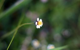 Μικρό άσπρο και κίτρινο λουλούδι με το θολωμένο υπόβαθρο στοκ φωτογραφία με δικαίωμα ελεύθερης χρήσης