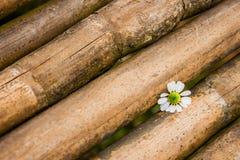 Μικρό άσπρο λουλούδι στο μπαμπού Στοκ Εικόνα