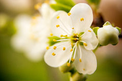 Μικρό άσπρο λουλούδι Στοκ φωτογραφία με δικαίωμα ελεύθερης χρήσης