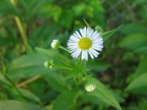Μικρό άσπρο λουλούδι Στοκ Φωτογραφία