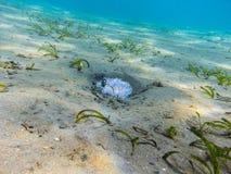 μικρό άσπρο anemone στον πυθμένα της θάλασσας Στοκ εικόνες με δικαίωμα ελεύθερης χρήσης