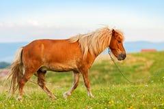 Μικρό άλογο πόνι (caballus ferus Equus) Στοκ φωτογραφία με δικαίωμα ελεύθερης χρήσης