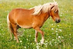 Μικρό άλογο πόνι (caballus ferus Equus) Στοκ Εικόνες