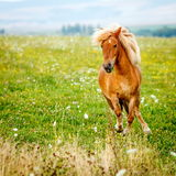 Μικρό άλογο πόνι (caballus ferus Equus) Στοκ Εικόνα