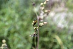 Μικρό έντομο σε έναν οφθαλμό λουλουδιών Στοκ Φωτογραφίες