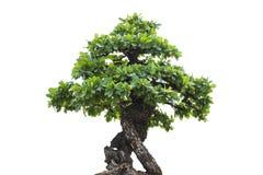 Μικρό δέντρο, δέντρο μπονσάι Στοκ Εικόνα