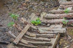 Μικρό δέντρο μαγγροβίων στη βάρκα συντριμμιών Στοκ Εικόνες