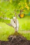 Μικρό δέντρο με τις ρίζες στο πράσινο υπόβαθρο Στοκ εικόνες με δικαίωμα ελεύθερης χρήσης